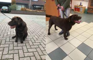 Bruine Labrador gevonden aan Schoppenstede Delden