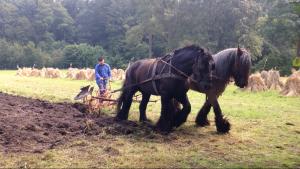 Stoppelploegen met zware trekpaarden bij museumboerderij Wendezoele